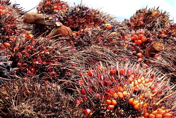 les régimes de noix de palme