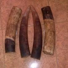 les ivoires