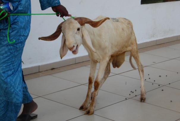 Un des moutons offerts par Airtel Gabon aux femmes musulmanes
