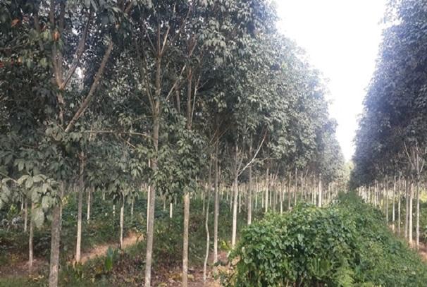 La plantation de Batouri