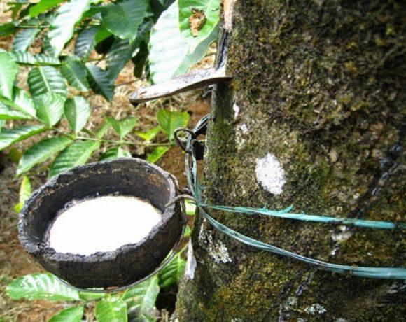 L'hévéa dans l'une des plantations d'Olam