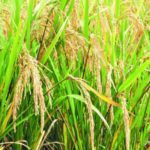 Production de riz