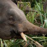 Les éléphants dans les plantations