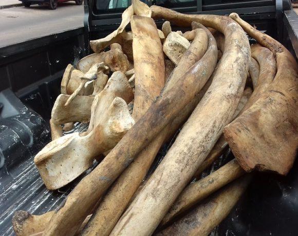 Les OS de baleine saisis à Libreville